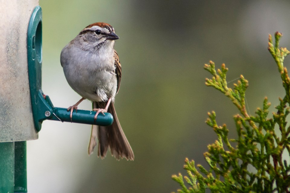 Chipping Sparrows seem to be partial to golf courses. Supplied photo/Jon Vopni