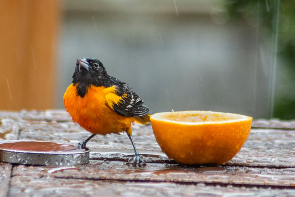Brilliant orange Orioles are attracted to food of the same colour. Putting out oranges in the early spring will draw the birds to your backyard. Photo contributed by Jon Vopni