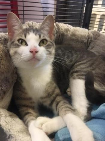 Adopt Me: Mittens is a pretty kitty (adopted) - CollingwoodToday.ca