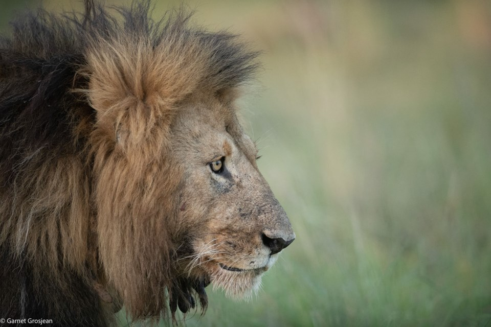 The Lion with Dreadlocks