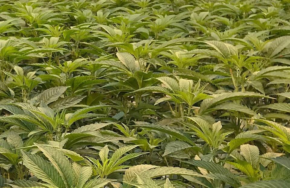 delta bc cannabis grower