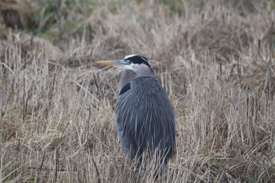 Heron for nature notes column