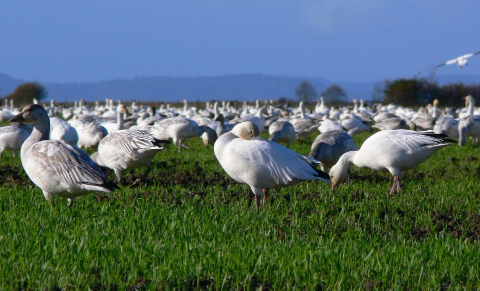 Snow Geese in Delta