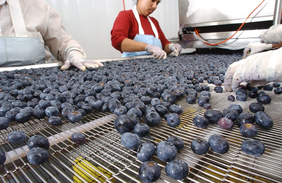 delta blueberries - bc blueberry council pic