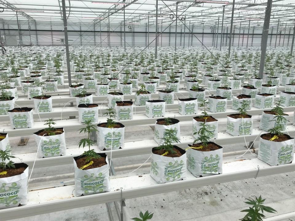 cannabis study - optimist file