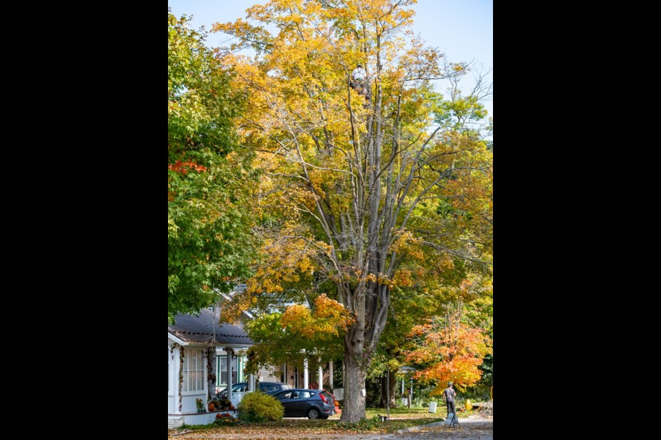 The legacy maple tree on Garafraxa Street was set to be removed but is now under the stewardship of Tree Trust CW.