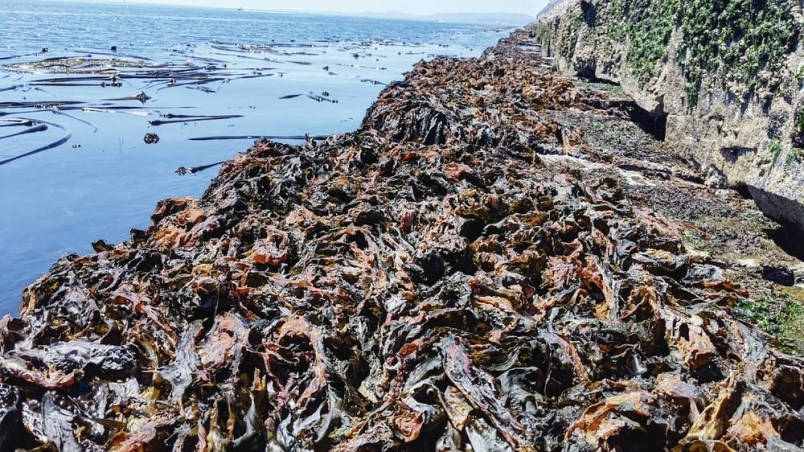 University of Victoria researchers documented dried-out kelp at Ogden Point on June 27, during a period of extreme heat.