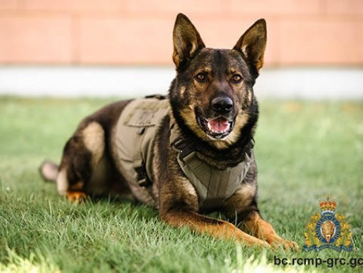 """Gator was stabbed and killed on July 8. BC RCMP Sgt. Chris Manseau said losing a police dog is difficult. """"That's a partner that you work with every day,"""" he said. """"You get to know that animal. It's very, very heartbreaking."""""""