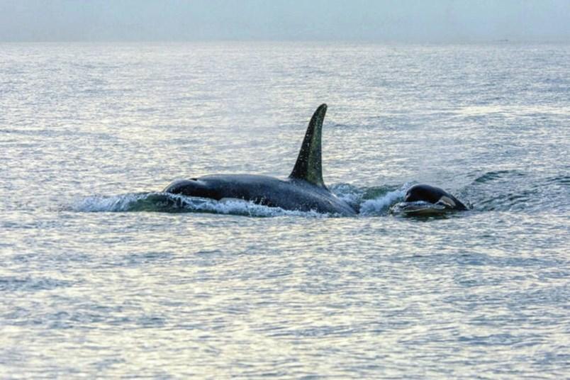 orcasinsea