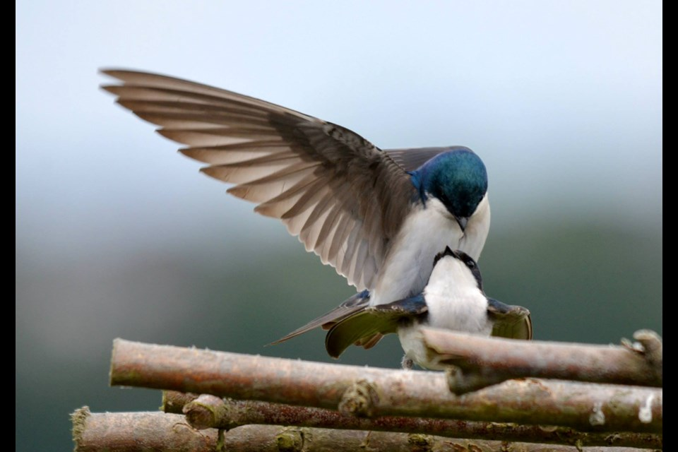Chris Johnson took this photo of mating tree swallows last year.