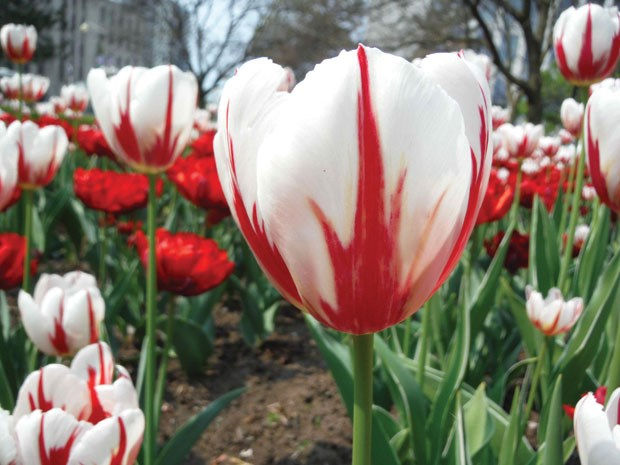 The South Delta Garden Club purchased 1,000 Canada 150 tulips for a special project to celebrate the country's 150th anniversary.