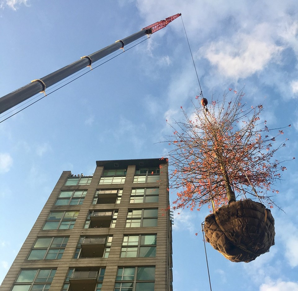 The new tree will be carefully monitored by an arborist to make sure the transplant is going well. P
