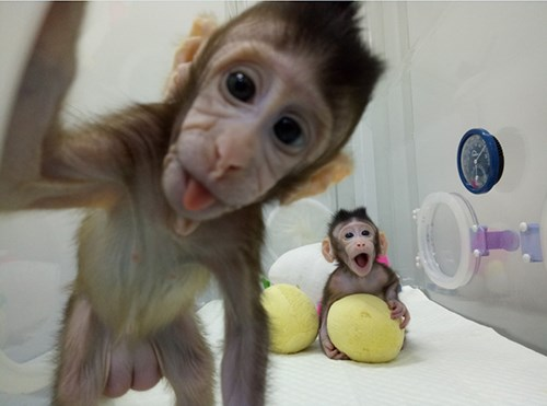 Monkeys successfully cloned by scientists in China. Image / Chinese Academy of Sciences