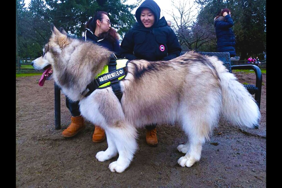 The biggest dog in Richmond? Meet Tyson… Image / submitted
