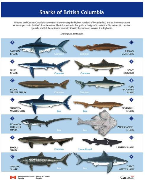 bc sharks