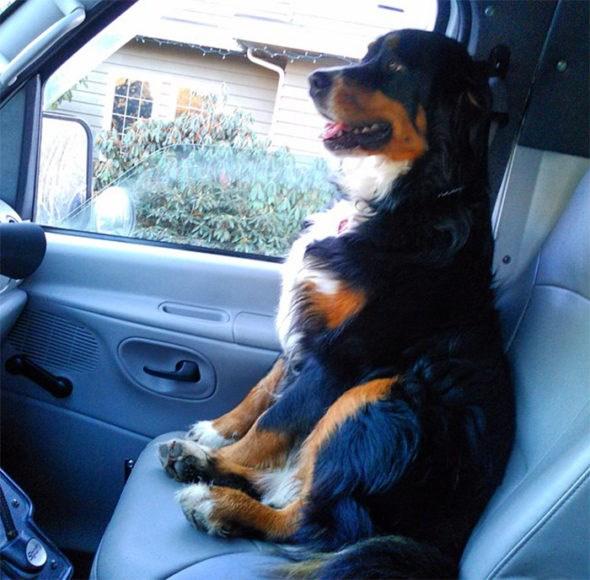 Nevada the Burnese mountain dog