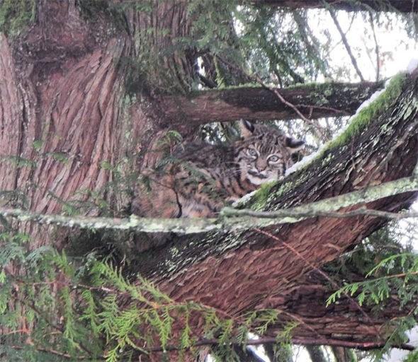 bobcat up tree maple ridge