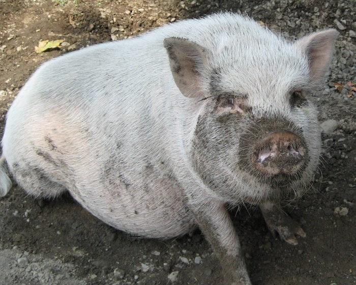 Angelina pig BC SPCA