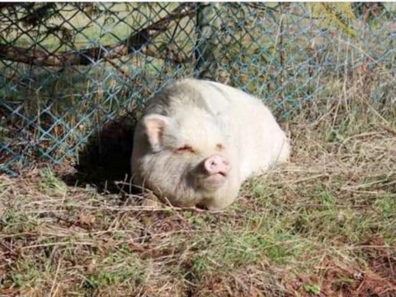 Molly pig SPCA