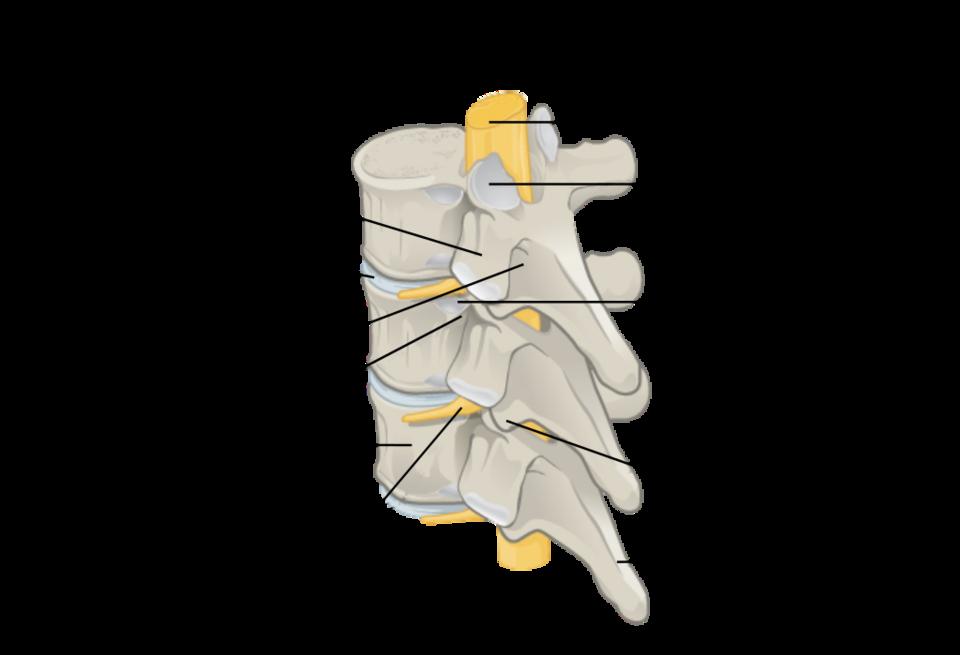 Vertebra diagram