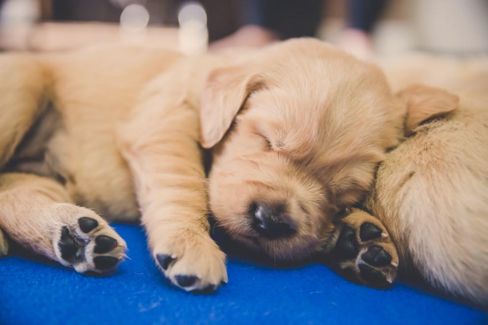 YVR puppies