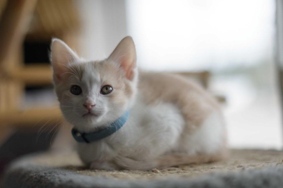 Burnaby SPCA Cat