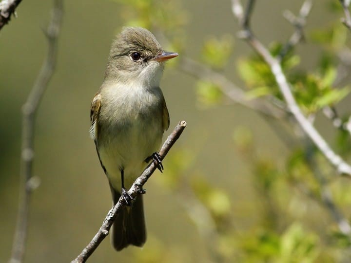 Alder-Flycatcher