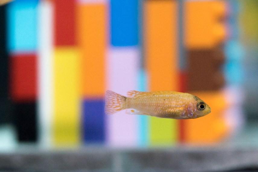 Cichlids swim through a Lego seascape in Vortex at the Vancouver Aquarium.