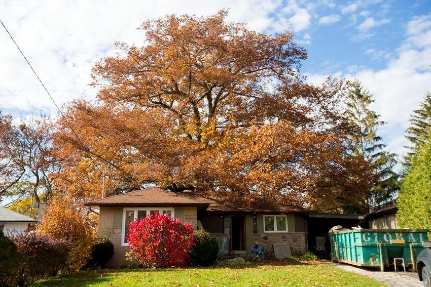 toronto red oak