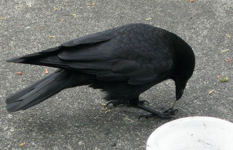Crow Sabine