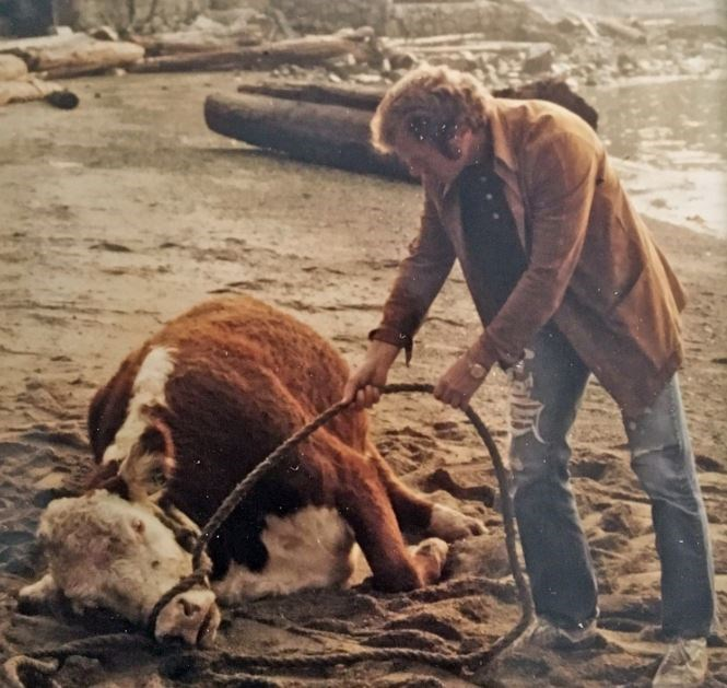 Garth Lawrence trying to coax an exhausted cow from a West Vancouver beach, September 1976. Photo Je