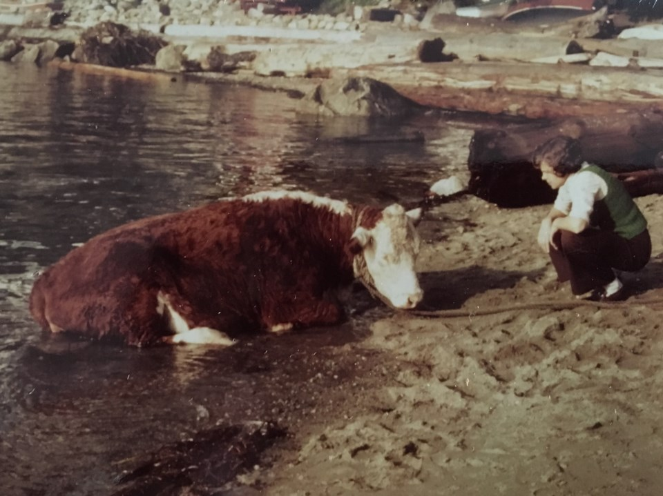 A West Vancouver resident trying to calm a cow coming to shore in September 1976. Photo Jean Lawrenc