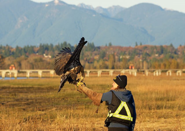 Kristine Kirkby, a raptor biologist with YVR's falconry team (The Raptors, www.the-raptors.com). Photo: Emily Fleming.