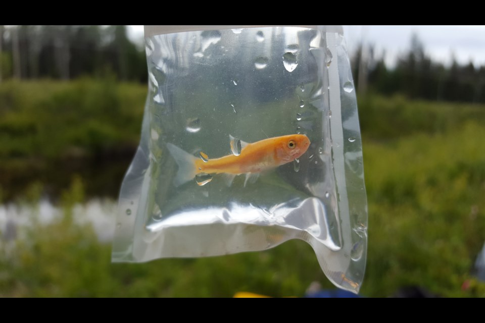 A Rosy Red Minnnow, considered an invasive species, has been found at an area lake.