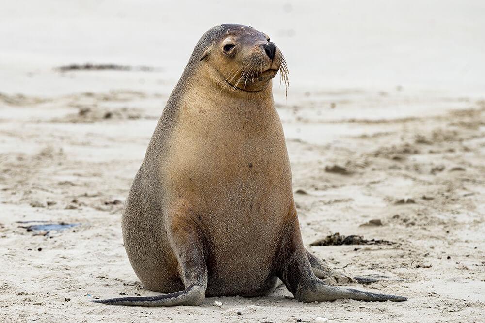 Sea lion a animal