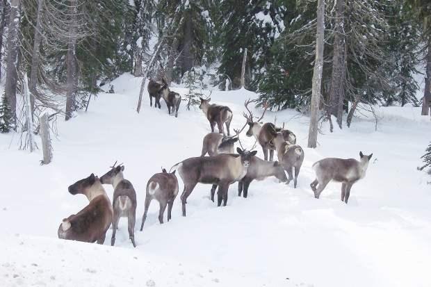 southern-mountain-caribou