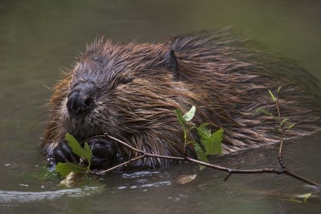 Beaver plan