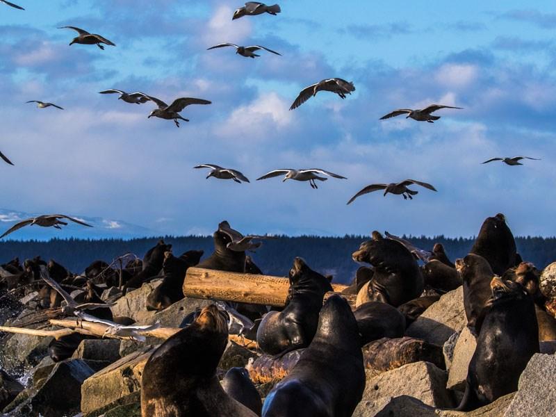 California sea lions Powell River