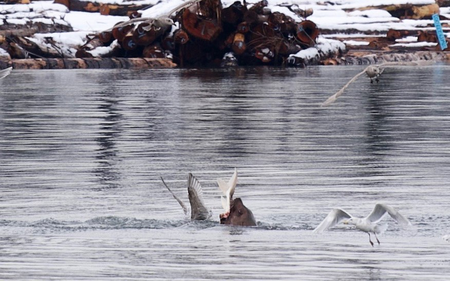 Sea lion eats sturgeon