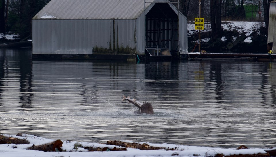 NEW 5 Sea Lion & Sturgeon (5).jpg