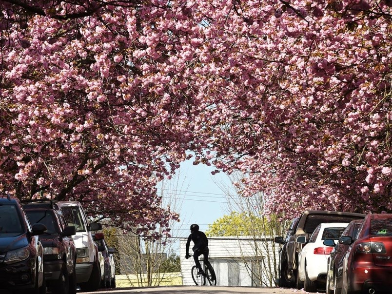 The Vancouver Cherry Blossom Festival drops its petals across the city April 4 to April 28. Photo Da