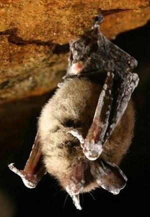 dead bats buranby