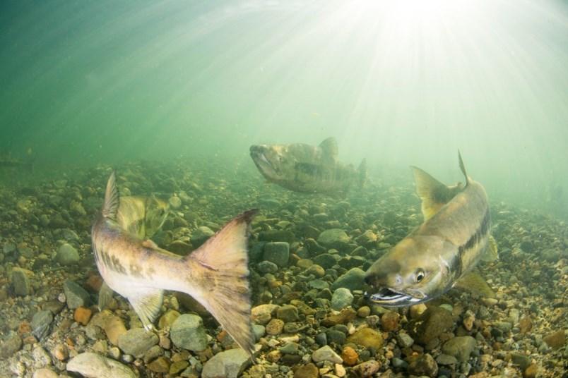 Salmon in the Fraser River