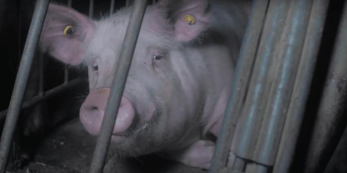 Excelsior Hog Farm pig