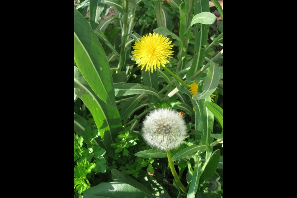 Dandelions in the company of woad and parsley. Photo: S. Eiche