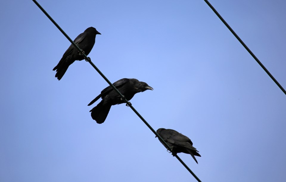 Getting attacked by a crow has become a rite of passage for most Vancouverites. An online interactiv