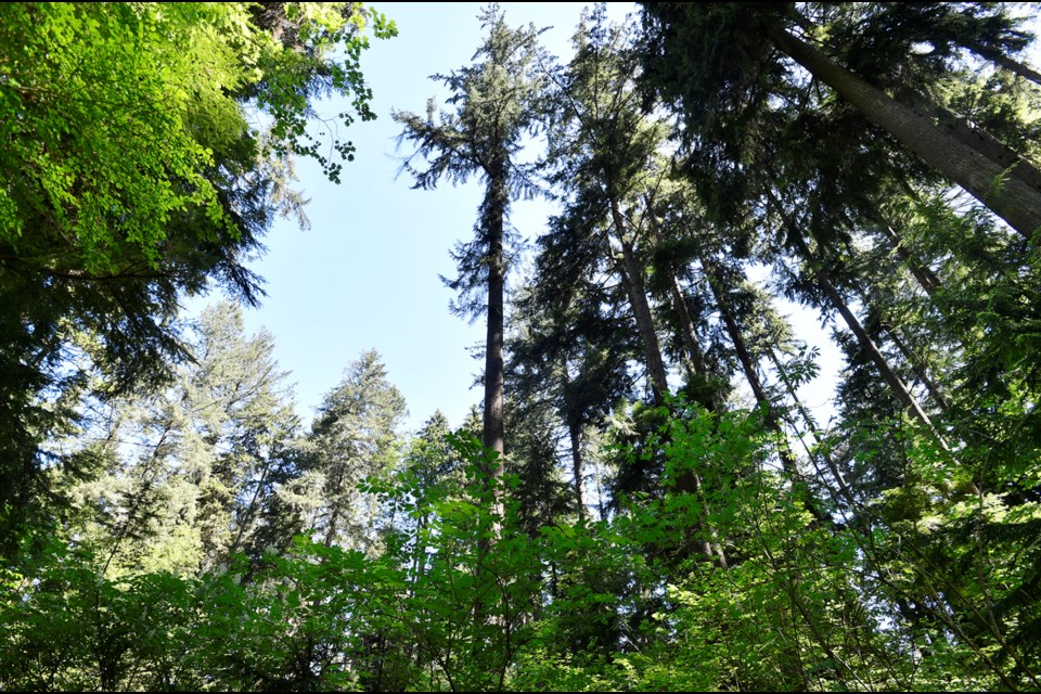 "Vancouver's tallest tree is a Douglas fir that measures 63.6 metres in height. It's referred to as the ""Second Chance Tree,"" given its history growing out of the ashes of the Great Fire of 1886, which nearly incinerated the entire city."