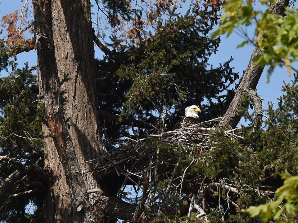An eagle's nest near Wreck Beach on Southwest Marine Drive. Photo Dan Toulgoet