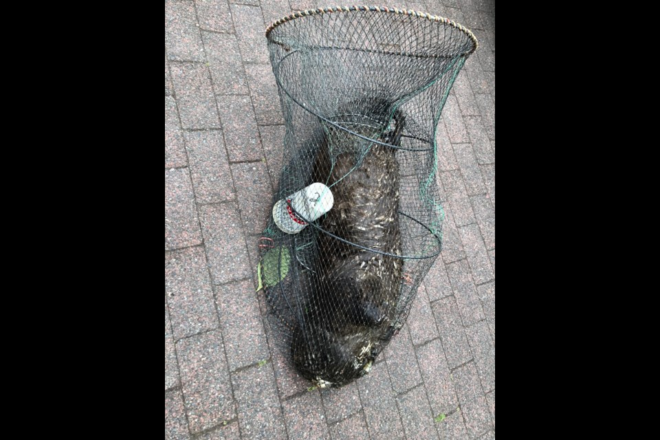 The City of New Westminster animal control services pulled a dead river otter caught in an illegal fish trap from the river on Sunday. Anyone with information on the incident is encouraged to call the B.C. Conservation Officer Services' Report All Poachers and Polluters (RAPP) line at 1-877-952-7277.