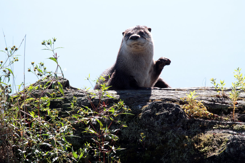 River otter along Widgeon Creek